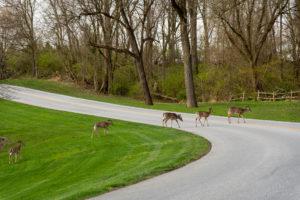 Deer crossing a road.