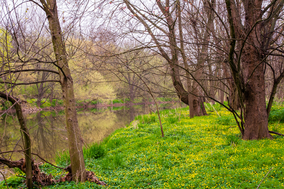 Buttercups blooming along the riverbank.